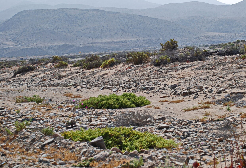 1 A Habitat Typical Of That Of Alstroemeria Philippii Subsp  Adrianae  Atacama Region S Of Huasco  John Watson