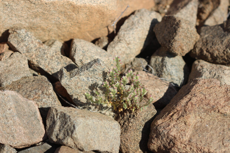 Malesherbia humilis var parviflora_Near Cobija_2_K Bull