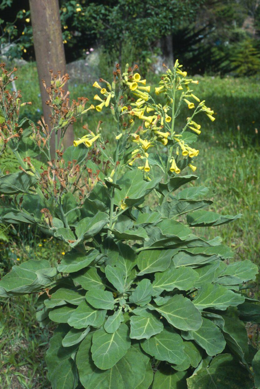181015 0177 Nicotiana cordifolia Subsp  Sanctaclarae