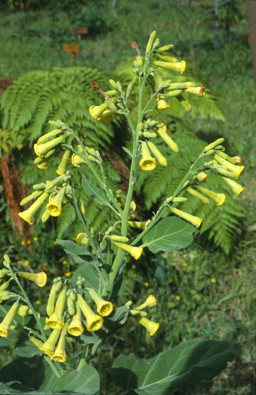 181015 0178 Nicotiana cordifolia Subsp  Sanctaclarae