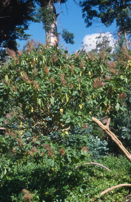 181015 Chenopodium Sanctae Clarae 0003