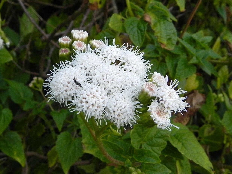 Ageratina glechonophylla Perone Oct16 Eitel Thielemann