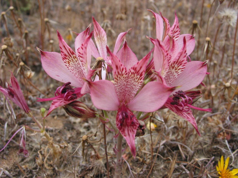 Alstroemeria hookeri ssp maculata Ñagué Mte 2