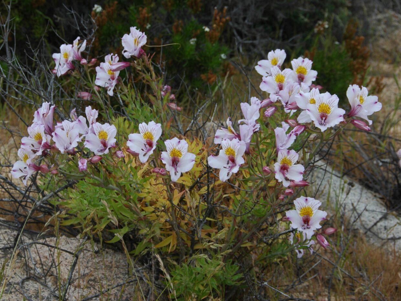 Alstroemeria philippi ssp adrianae Sarco Mte 2