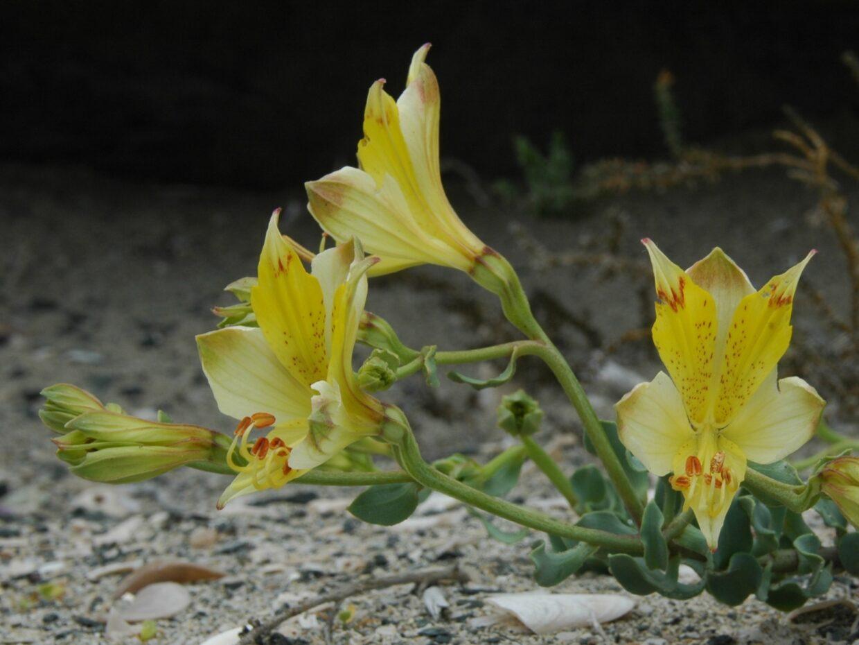 Alstroemeria werdermannii Var flavicans El Apolillado Mte 2