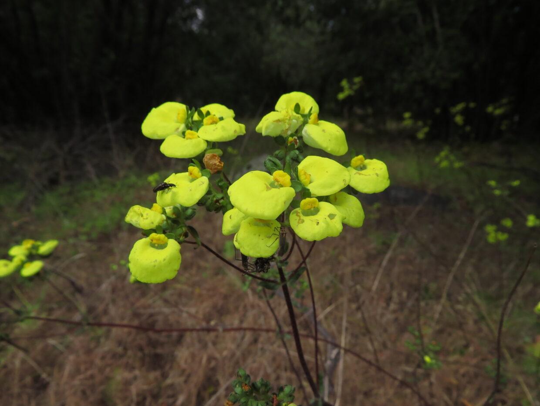 Calceolaria nudicaulis Altos de Cantillana IMG 0607