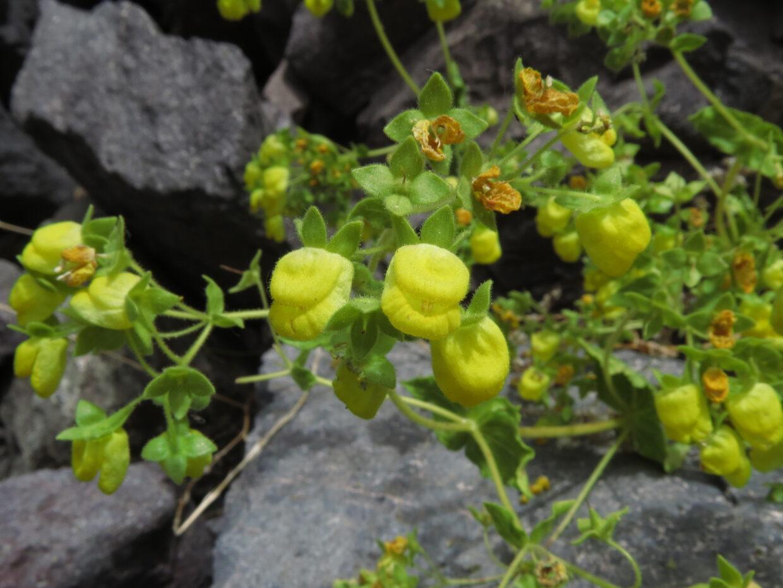 Calceolaria petioalaris Cajon del Maipo IMG 5627