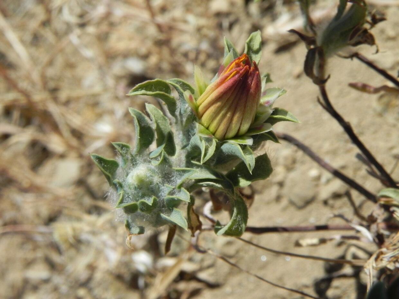 Chaetanthera schroederi  M T Eyzaguirre 2