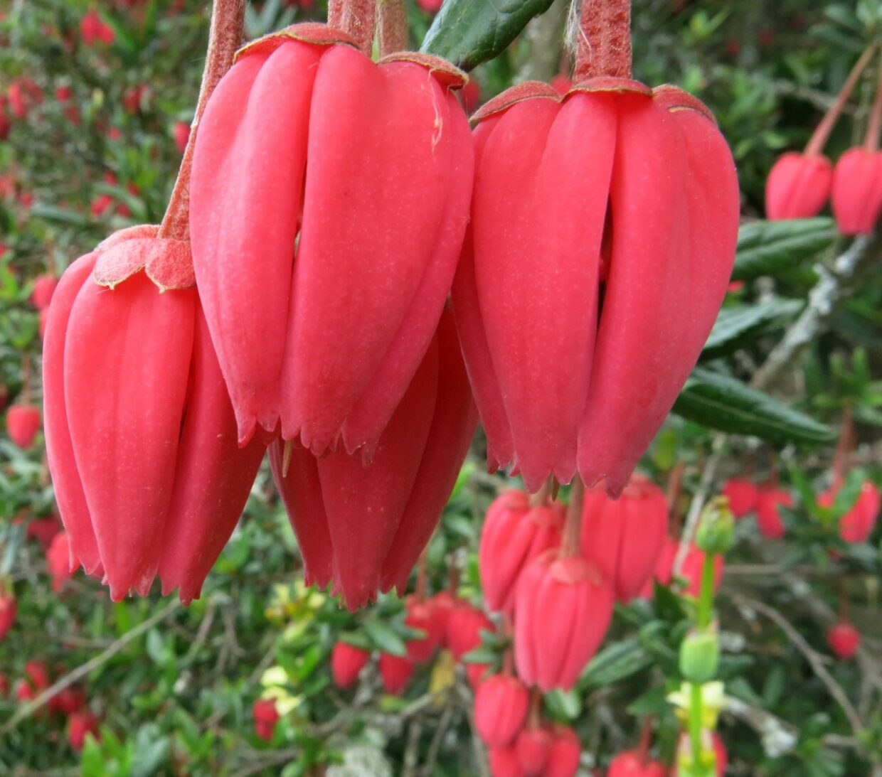 Crinodendron-hookerianum_ 6179 Wc