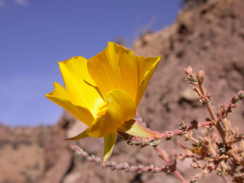 Dscn4853 Balbisia microphylla Bghmr370 Flower