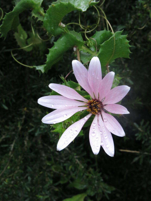 IMG 6714 Mutisia latifolia