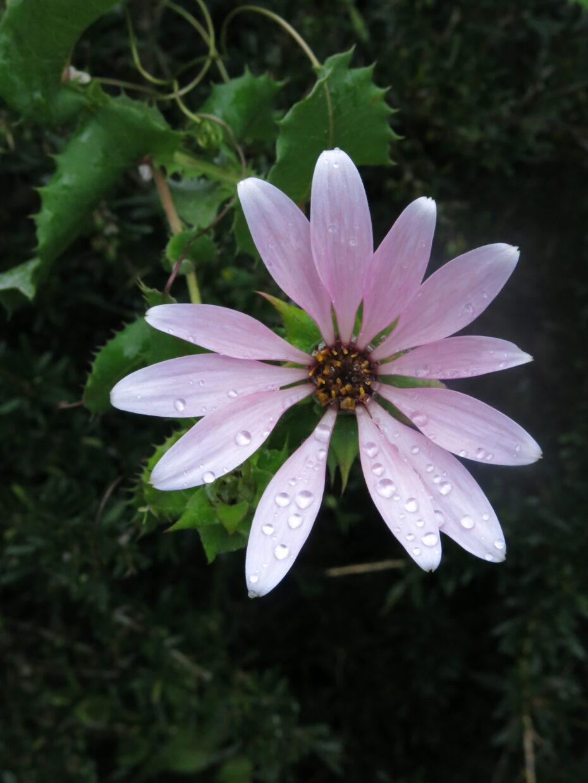 IMG 6719 Mutisia latifolia