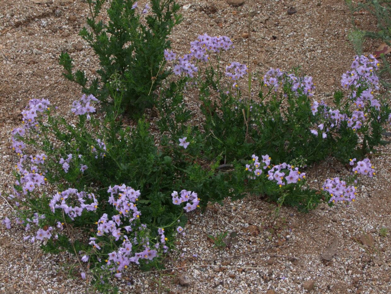 Picture 283 Solanum maritimum