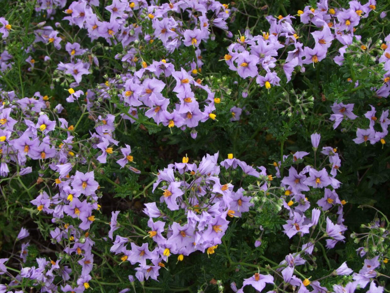 Picture 285 Solanum maritimum