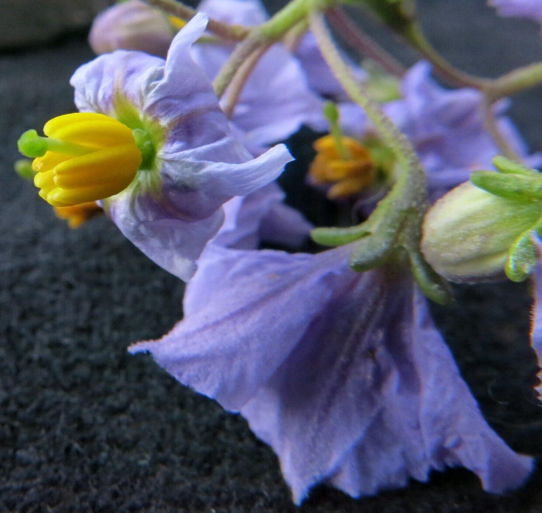 Solanum Pinnatum Img 2512