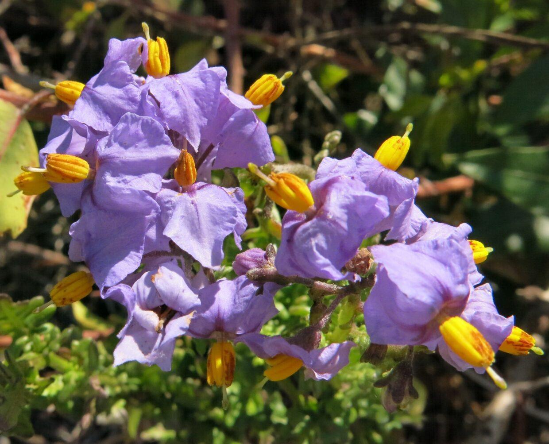 Solanum Pinnatum Img 2571