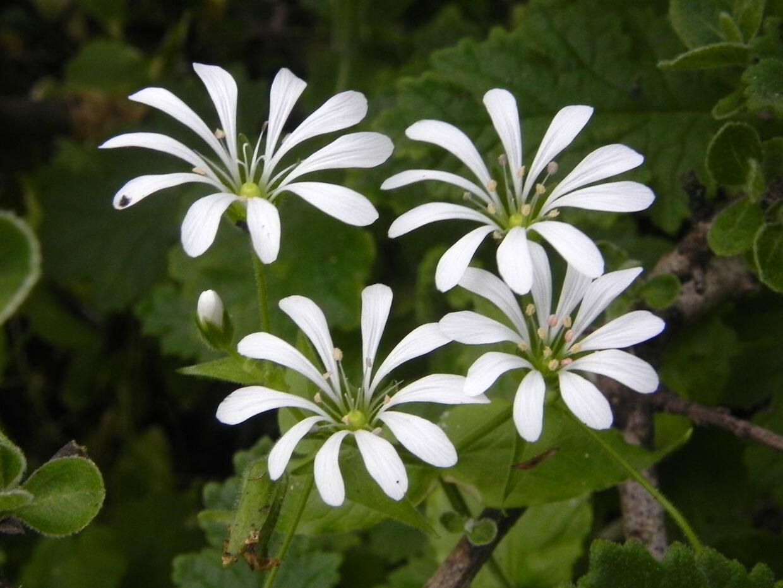 Stellaria chilensis 2 C° Santa Inés Spt16 Eitel Thielemann