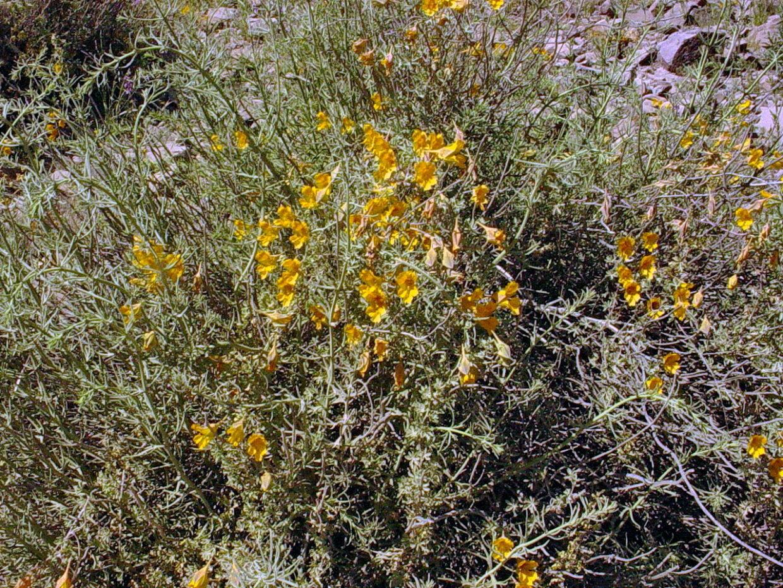 Tropaeolum Looseri 2  F  W  11740  Arqueros Elqui Valley Elqui Province Coquimbo Region  18 Oct 2008  Anita