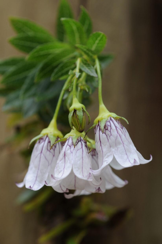 Wahlenbergia fernandeziana Rc