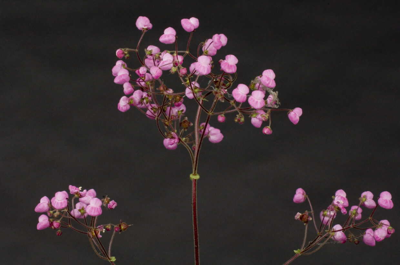 Calceolaria0040